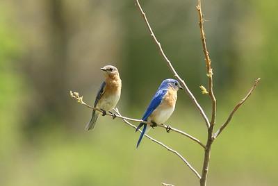 Eastern Bluebird Pair (Female on left)