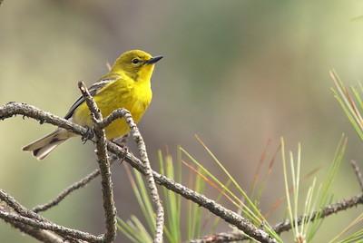 Pine Warbler - Cape Henlopen SP