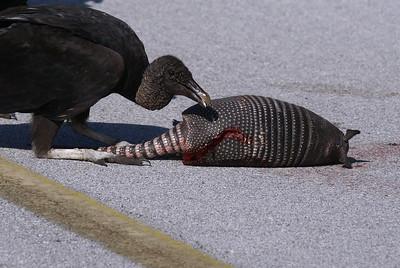 Black Vulture and Armadillo carcass - Merritt Island.