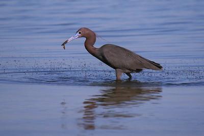 Little Blue Heron - off roadway to Merritt Island from Titusville.