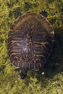 Turtle in the ponds outside the Merritt Island National Wildlife Refuge Visitor Centre.