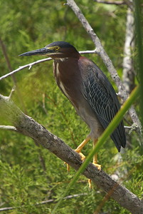 Green Heron - Blackpoint Wildlife Drive - Alan Cruickshank Trail.