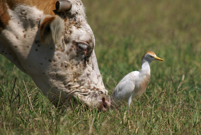 Cattle Egret....and a cow. Go figure.