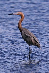Reddish Egret - Blackpoint Wildlife Drive