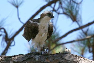 Osprey - Scrub Ridge Trail / Merritt Island