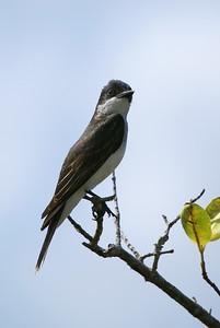 Eastern Kingbird - Blackpoint Wildlife Drive - Alan Cruickshank Trail.