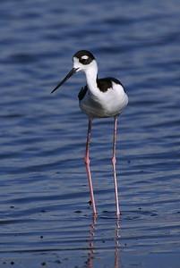 Black-necked Stilt - Blackpoint Wildlife Drive