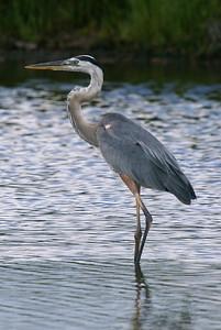 Great Blue Heron - Blackpoint Wildlife Drive / Alan Cruickshank Trail.