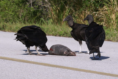 My first wild sighting of an Armadillo wasn't exactly what i was hoping for. 4 black vultures started off on the carcass....many more soon followed. Just prior to Blackpoint Wildlife Drive on Merritt Island.