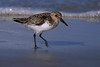 Sanderling coming out of breeding plumage - Canaveral National Seashore