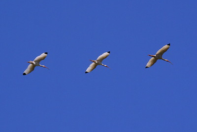 Trio of White Ibis flying overhead - Canaveral National Seashore