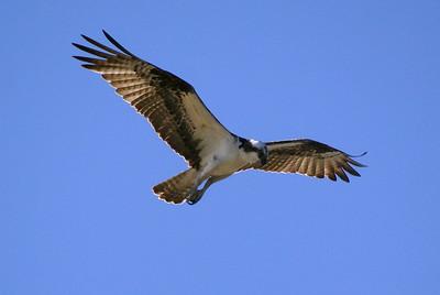 Osprey fishing - Blackpoint Wildlife Drive