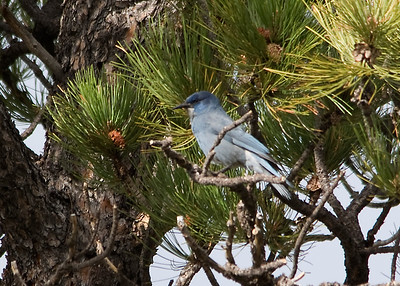 Pinyon Jay - Dirty Shirt Woods, Casper, WY