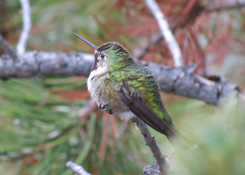 Broad-tailed Hummingbird - Casper Mountain, WY