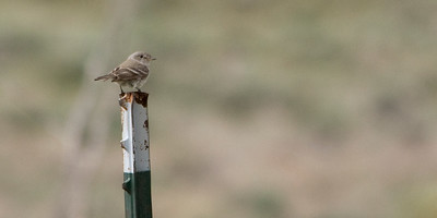 Dusky Flycatcher - Dirty Shirt Woods, Casper, WY