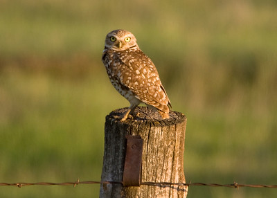Burrowing Owl - Little Missouri National Grasslands, ND (Apparently considered rare at this location)