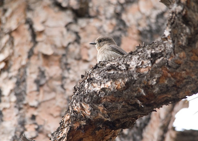 Female Mountain Bluebird sure looked like a Bushtit to me at first glance.