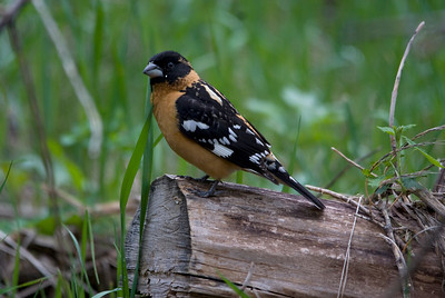 Black-headed Grosbeak at Roughlock Falls, SD. Wish i had more time to explore here without pouring thunder storm that started shortly after this shot.