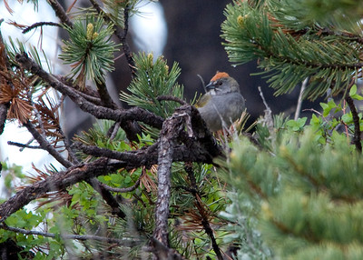 Green-tailed Towhee - Casper Mountain, WY