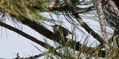 Elusive Pygmy Nuthatch - Dirty Shirt Woods, Casper, WY