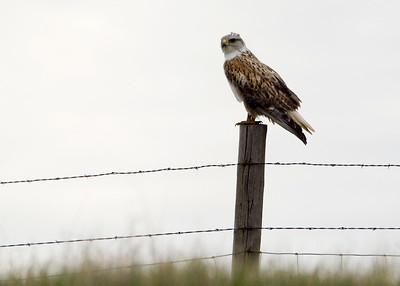 Ferruginous Hawk - Rhame Prairie, ND