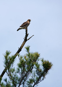 Broad-winged Hawk - Michigan Upper Peninsula