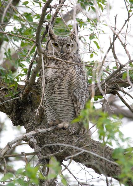 Great Horned Owl - Audubon Center at Garden Creek, Casper, WY