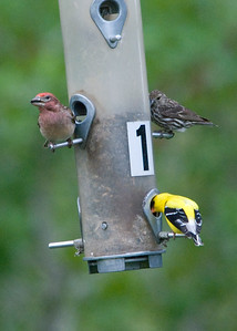 Cassin's Finch (male, left) with American Goldfinch and Pine Siskin at feeders - Audubon Center at Garden Creek, Casper, WY