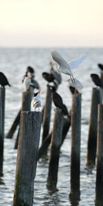 Royal Tern and Cattle Egret, Dauphin Island, AL (also double-crested cormorant and brown pelican).