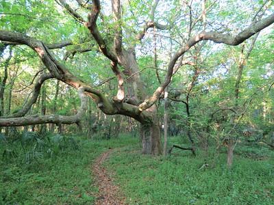 Fantastic Trees of Shell Mound Park, Dauphin Island, AL