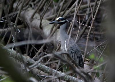 Yellow-crowned Night Heron - Honey Island Swamp, LA
