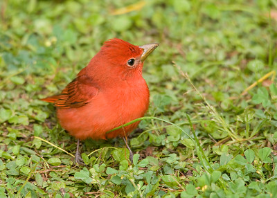 Summer Tanager (Male)