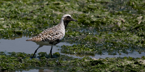 Grey (Black-bellied) Plover