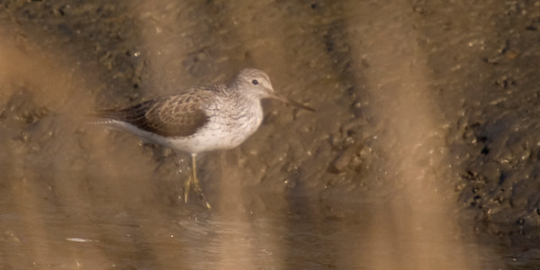 Common Greenshank: Fujimae Higata (Port of Nagoya)