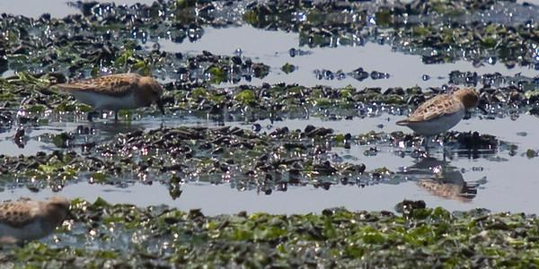 Rufous-necked Stint