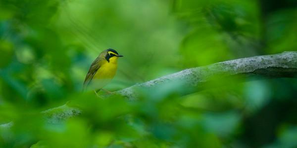 Kentucky Birding