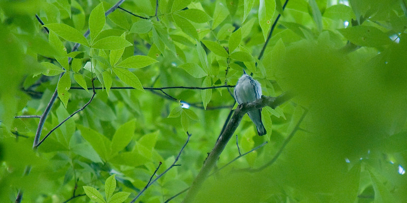 Cerulean Warbler - Mammoth Cave National Park - Turnhole Bend Trail