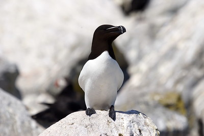 Razorbill Auk - Machias Seal Island.