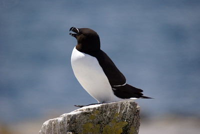 Razorbill Auk - Machias Seal Island - New Brunswick.