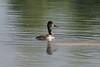 Ring-billed Duck (female)<br /> <br /> Sackville Waterfowl Park.