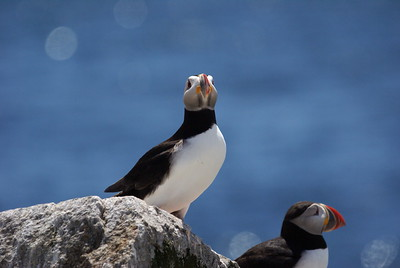Atlantic Puffin - Machias Seal Island - New Brunswick