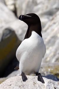 Razorbill Auk - Machias Seal Island - New Brunswick