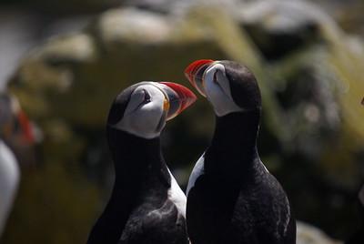 Atlantic Puffin - Machias Seal Island.