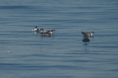 Group of Shearwaters