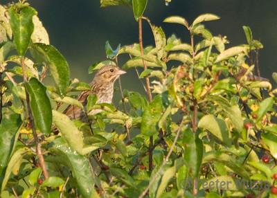 Suspect Juvenile Henslow's Sparrow