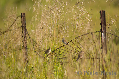 Field Sparrows (Full Image)