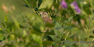 Henslow's Sparrow - Sharonville SGA (missing some feathers around the eye).