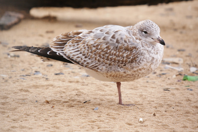 Ring-billed Gull transitioning from juvenile into 1st winter plumage.