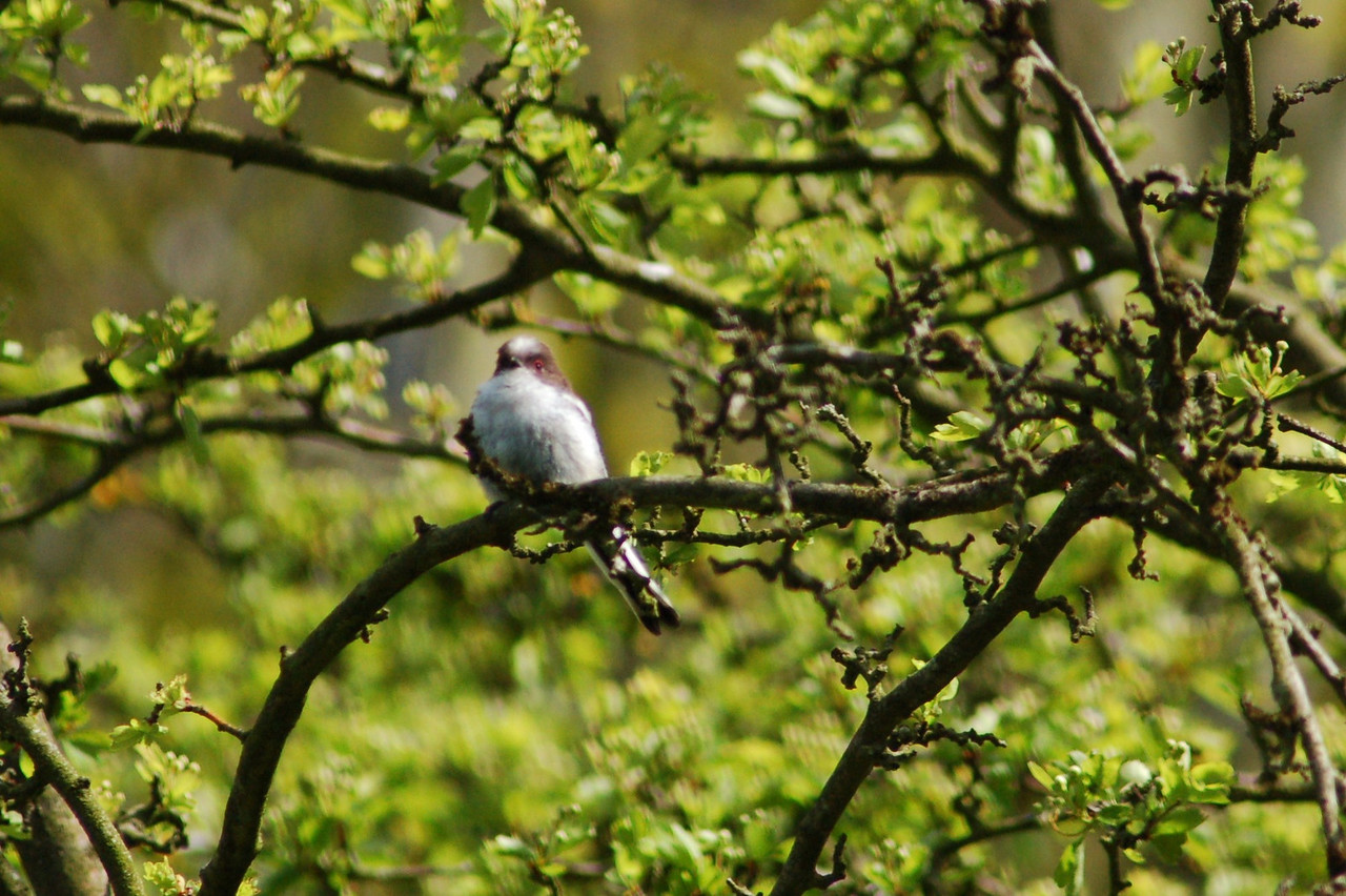 Long Tailed Tit Norfolk May 2010