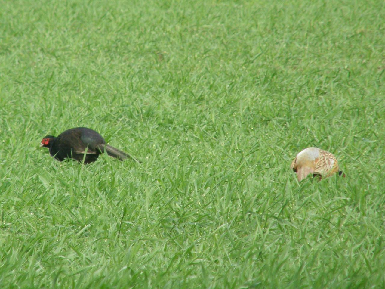 Pheasant Black Norfolk May 2010